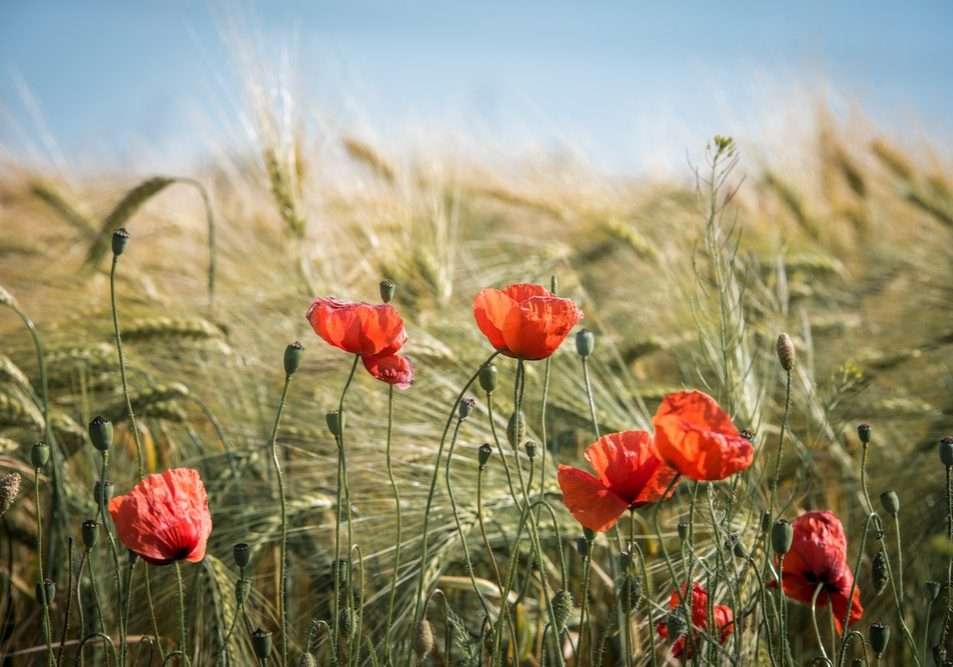 Red flowers blooming in a wheat field
